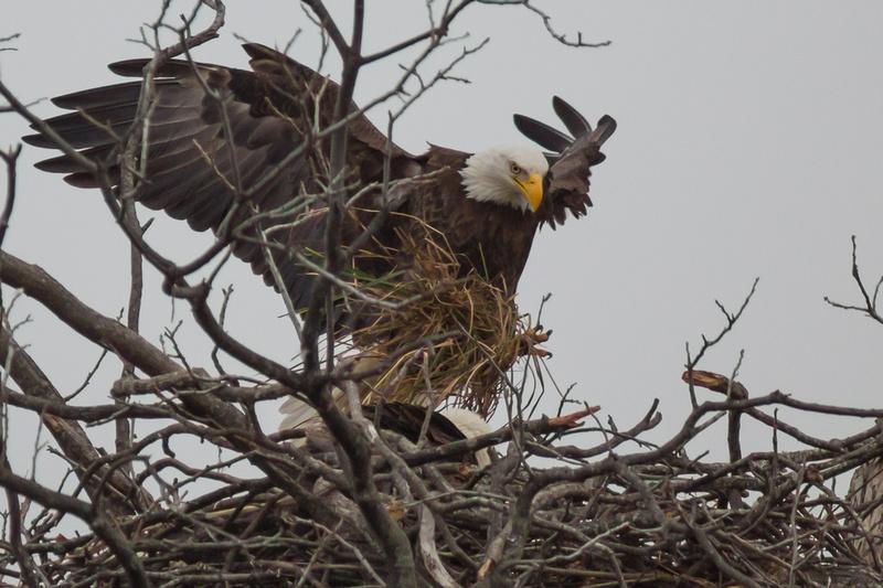 Llano Bald Eagles Nest