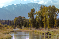 Moose and calves Grand Tetons
