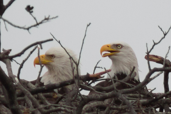 Llano Bald Eagles Nest
